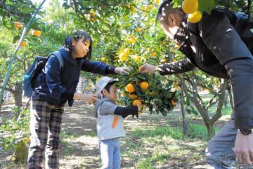 ミカン狩りを楽しむ親子連れ=15日、埼玉県東秩父村大内沢の密茸園