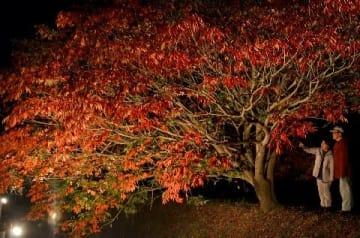 色づくハゼ闇夜に浮かぶ うきは市・延寿寺曽根の並木 [福岡県]