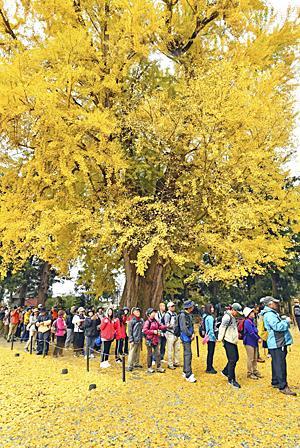 黄色の絶景!長床ウオーク 大イチョウに感動...落ち葉で染まる