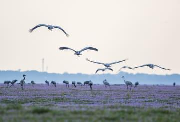渡り鳥の飛来シーズン到来 江西省鄱陽湖