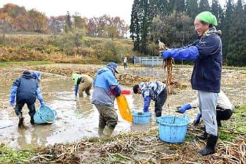 「戸沢のクワイ」を特産品に 住民有志が栽培、収穫