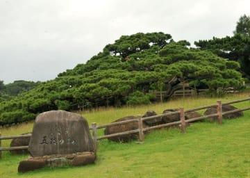 (資料写真)久米島の国指定天然記念物「五枝の松」