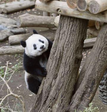 木に登るジャイアントパンダのシャンシャン=19日、東京・上野動物園(東京動物園協会提供)