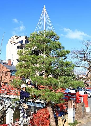 観光名所の中橋のたもとで松に雪つりを施す庭師=20日午前9時35分、高山市神明町