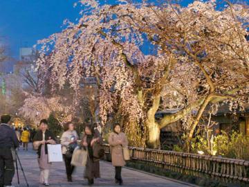 白川沿いで夜空に浮かび上がる桜のライトアップ(2006年3月31日撮影、東山区・白川南通)