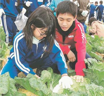 協力して白菜を収穫する地元児童と高校生