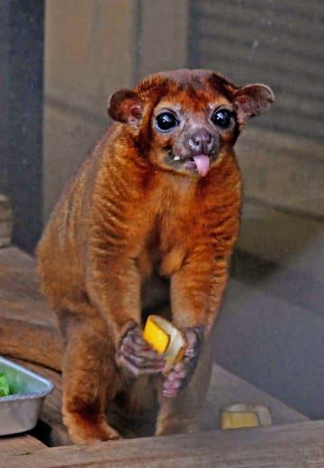飼育員が持ってきた餌を頬張るアライグマ科のキンカジュー=日、ネオパークオキナワ