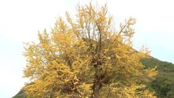 樹齢4千年のイチョウが見頃迎える 陝西省留壩県