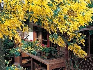 ミモザ咲く春の古民家