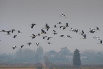 巣湖湿地にコウノトリ飛来 安徽省巣湖市