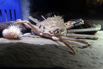 鳥取市内で展示されている「競りで落札された最も高額なカニ」としてギネス認定されたズワイガニ=24日午後、鳥取市