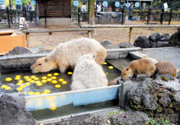 ユズ湯に漬かるカピバラの親子=埼玉県東松山市岩殿の県こども動物自然公園