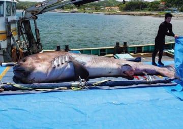 昨年5月に館山沖で見つかったメガマウスザメ(鴨川シーワールド提供)