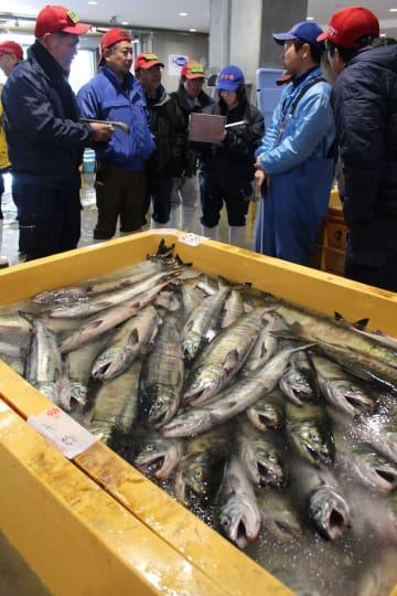 定置網で漁獲された秋サケ。昨年以上の不漁で魚体も小さい=大船渡市魚市場