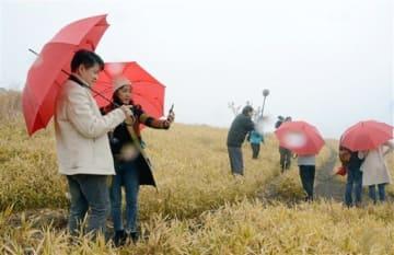 一面広がる黄色い草原をバックに写真を収めるベトナムの旅行関係者たち=阿蘇市