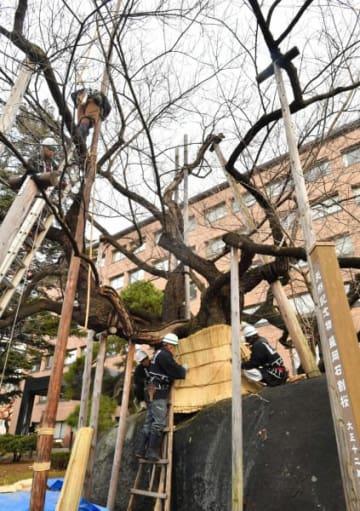 本格的な冬に備え、石割桜の幹にこもを巻く職人たち=28日、盛岡市内丸・盛岡地裁前庭