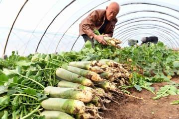 大根栽培で農家の増収後押し 山東省濰坊市