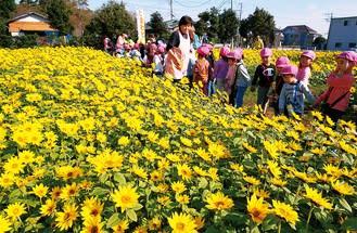 「花のまち・寒川」で満開の冬のひまわり、摘み取り会を満喫しよう