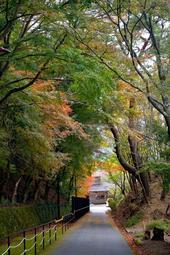 色づきが遅れたイロハモミジ。緑の葉も残る=11月20日、川西市の妙見山(撮影・風斗雅博)