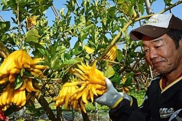 【ユニークな形をした仏手柑を収穫する農家(11月30日、和歌山県田辺市上秋津で)】