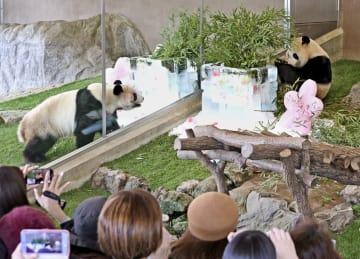 4歳を祝う誕生会で、ササや氷をプレゼントされたジャイアントパンダの「桜浜」(左)と「桃浜」=2日、和歌山県白浜町