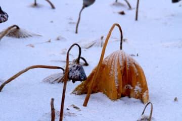 雪の中のハス 甘粛省張掖市