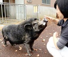 福井市足羽山公園遊園地のミニブタ「ブーコ」=12月3日、同市山奥町