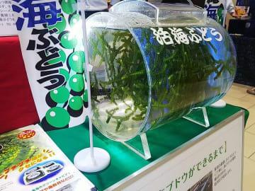 タイムスビルで開催中「久米島町 観光・物産と芸能フェア」。海ぶどうも待ってます。