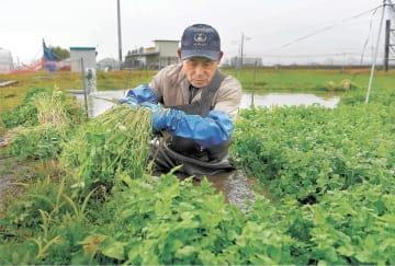 セリを収穫する今野さん=7日午前9時20分ごろ、名取市上余田