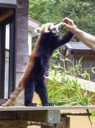 千葉市動物公園で飼育されているレッサーパンダの風太