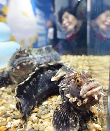 顔の周りにふさふさの突起があるフサギンポ=大阪市港区の海遊館