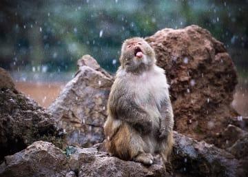 雪舞う猿山のアカゲザル 江蘇省南京市