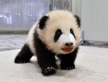 自力で歩き始めたジャイアントパンダの赤ちゃん=10日、和歌山県白浜町(アドベンチャーワールド提供)