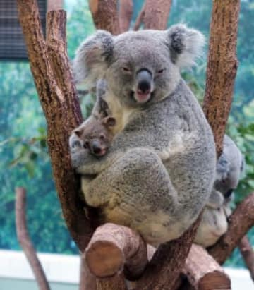 母親のリオに抱きかかえられるコアラの赤ちゃん=鹿児島市の平川動物公園(同園提供)
