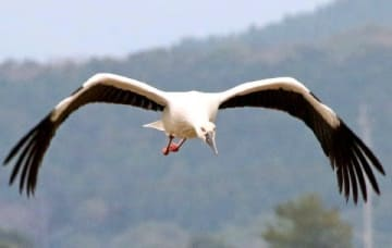 五島にコウノトリ飛来相次ぐ 4年で3羽「自然豊かさが引き寄せ」 繁殖地になる可能性も [長崎県]