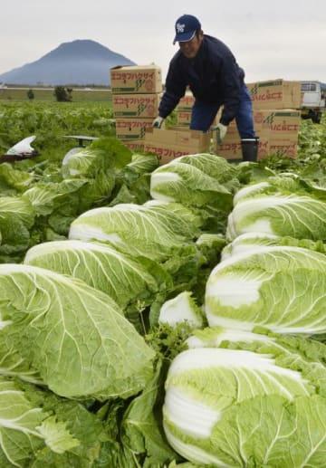 出荷の最盛期を迎えた「エコラブハクサイ」を収穫する大西啓司さん=10日午前、大洲市五郎