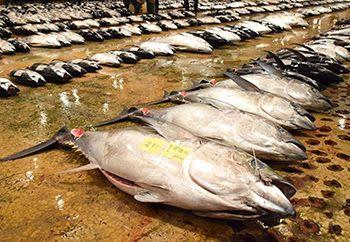 パラオ海域 20年から操業禁止 沖縄県内マグロ漁に影響