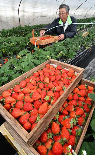 真っ赤に完熟したイチゴを一つ一つ丁寧に摘み取る木村さん=10日、八戸市市川町