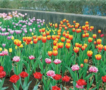 「ひと足早い春感じて」約1000本のチューリップ見頃に@瀬谷本郷公園
