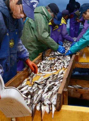 ハタハタを選別する漁業者ら=10日午後4時20分ごろ、にかほ市の象潟漁港