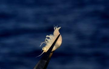 6千メートル超深海のエビはどんな形? 「彩虹魚」着底装置マリアナ海溝に潜る