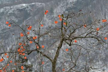 冬を彩る枝先の柿 湖北省保康県