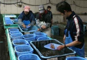 早朝からエビを選別する社員ら=姫島村の姫島車えび養殖