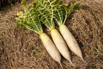 暖冬の影響で大根の価格低迷、平年の半値以下になるところも