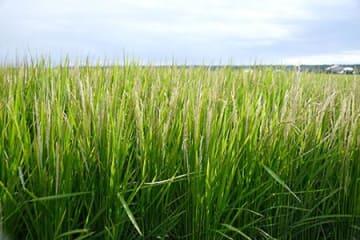 酒田と遊佐の水稲収量、庄内全体より大幅減 風が影響か、販売量確保に苦慮