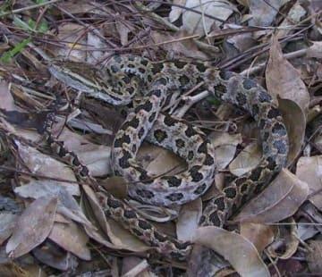 タイワンハブ生息域拡大 県内、9年で捕獲数5.5倍 生態系への影響懸念
