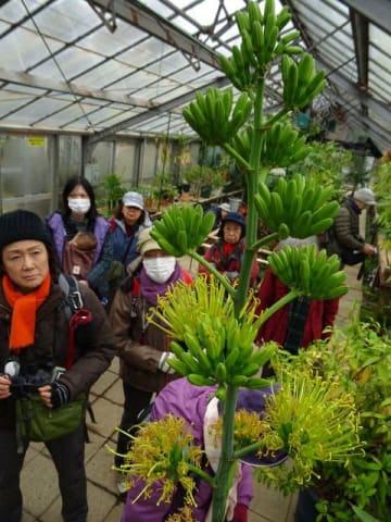 開花したアガベ・ベネズエラを観察する来園者=川崎市多摩区の市緑化センター