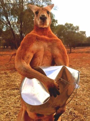 SNSで人気を集めたロジャー(保護施設The Kangaroo Sanctuary Alice Springsの公式フェイスブックより)