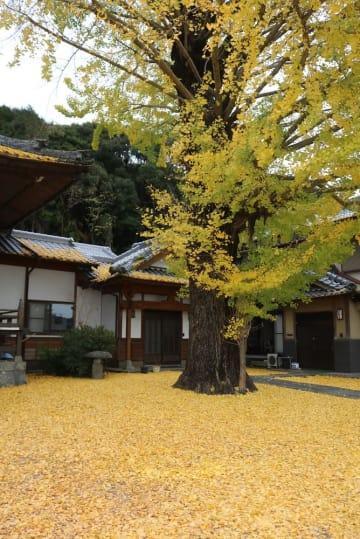 黄金色の葉がじゅうたんのように広がる境内=諫早市、教専寺