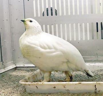 誕生半年3羽すくすく ファミリーパークのライチョウ
